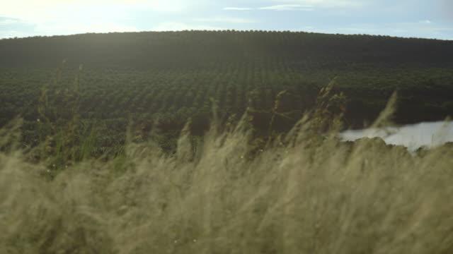 long shot from a hill of a palm oil field on bugala island. - ウガンダ点の映像素材/bロール