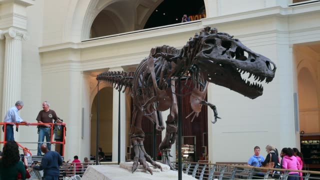 long shot, geologist bill simpson cleans sue, a 67-million-year-old tyrannosaurus rex on display at the field museum on november 12, 2013 in chicago,... - geologist stock videos & royalty-free footage