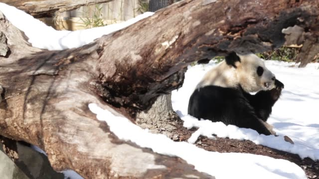 stockvideo's en b-roll-footage met long shot, giant panda mei xiang eats a piece of treat in her enclosure, one day after a snow storm has hit the area. washington, dc. february 14,... - mei