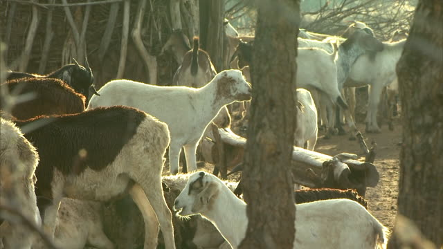 long shot - goats cluster in an african village corral / kenya - corral stock videos & royalty-free footage