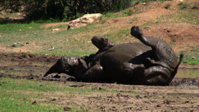 long shot hand-held - a rhinoceros rolls around in mud. / johannesburg, south africa - rolling stock videos & royalty-free footage