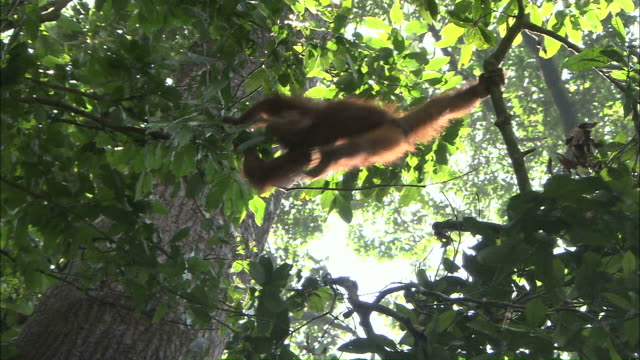 long shot hand-held - an orangutan swings from tree branch to tree branch / borneo, indonesia - borneo stock-videos und b-roll-filmmaterial