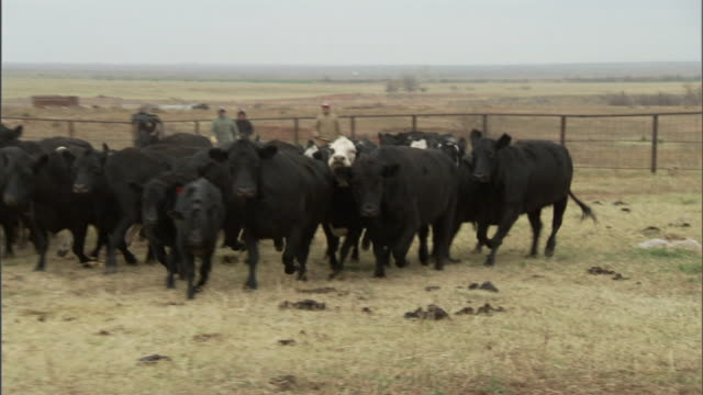long shot hand-held pan-left push-out zoom-in - cattle run through a pasture. / oklahoma, usa - rind stock-videos und b-roll-filmmaterial