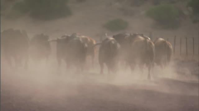 long shot hand-held - running bulls stir dust near a hillside on a ranch in tarifa, spain. / tarifa, spain - stampeding stock videos & royalty-free footage