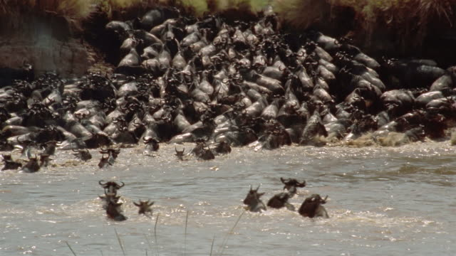 Long shot herd of wildebeest swimming across river and climbing up riverbank / Africa