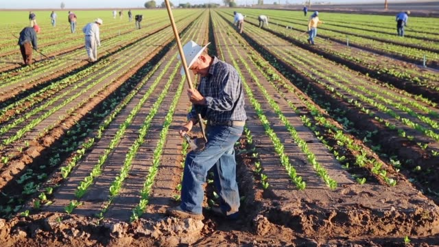Long Shot mexican agricultural workers cultivate romaine lettuce on a farm on October 8 2013 in Holtville California Thousands of Mexican workers...