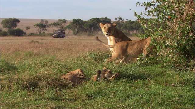 Long shot mother lion with three cubs playing in grass / 4x4 passing by in background / Masai Mara, Kenya