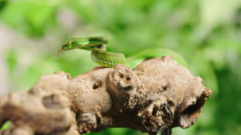 slo mo long shot of a dangerous green snake on a branch - viper stock videos & royalty-free footage