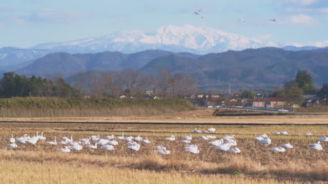 long shot of a flock of tundra swans (cygnus columbianus), ishikawa, japan. - 農村の風景点の映像素材/bロール