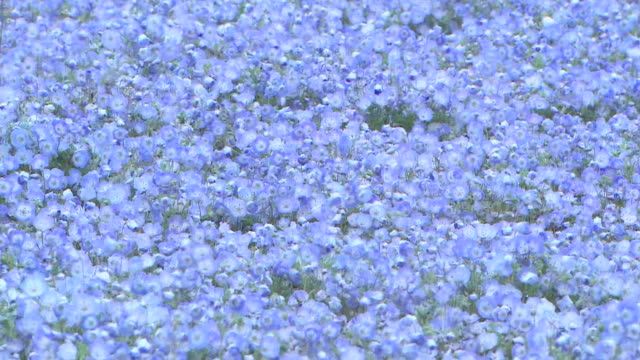 Long shot of a giant field of blue nemophila flowers stretches out over an area of 20000 square meters in Hitachinaka Kaihin Koen field full of...