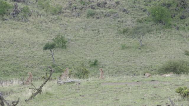 long shot of a group of cheetahs (acinonyx jubatus) sitting on a grassy hill at the lewa downs, kenya. - national grassland stock videos & royalty-free footage