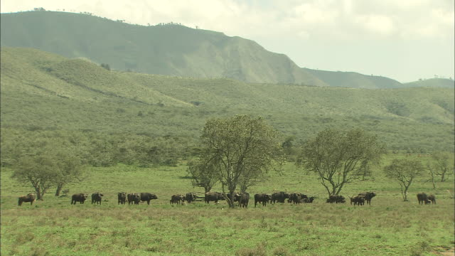Long shot of a herd of buffalo on the African savannah.