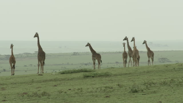 long shot of a herd of giraffe wandering across the serengeti national park, tanzania. - bbc stock videos and b-roll footage