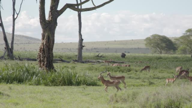 vídeos de stock e filmes b-roll de long shot of a herd of impala (aepyceros melampus) wandering across the grasslands of the lewa wildlife conservancy, kenya. - planície