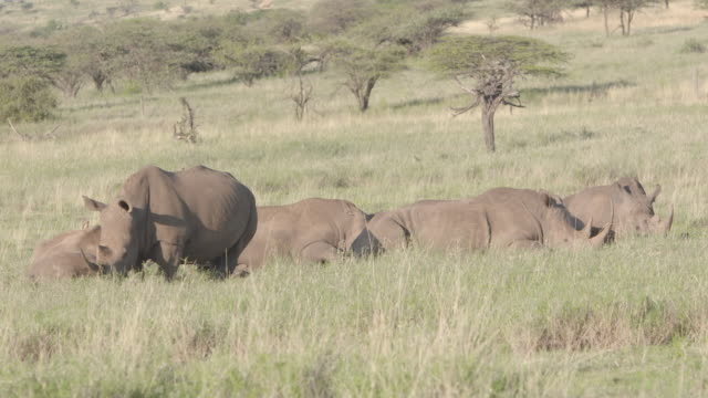 Long shot of a herd of White rhinoceros (Ceratotherium simum) at the Lewa Wildlife Conservancy, Kenya.