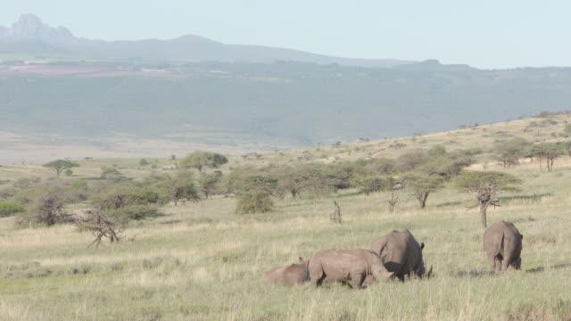 Long shot of a herd of White rhinoceros (Ceratotherium simum) at the Lewa Wildlife Conservancy, Kenya.
