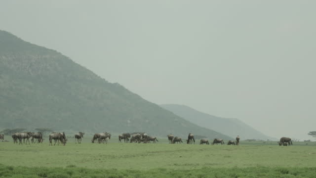 Long shot of a herd of wildebeest grazing on the plains of the Serengeti National Park.