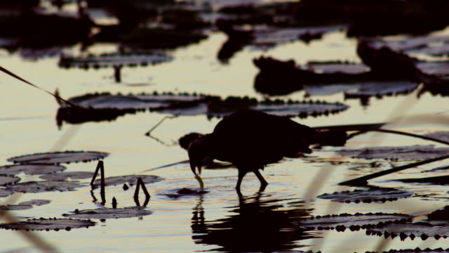 long shot of a purple swamphen forages on wetland - foraging stock videos and b-roll footage