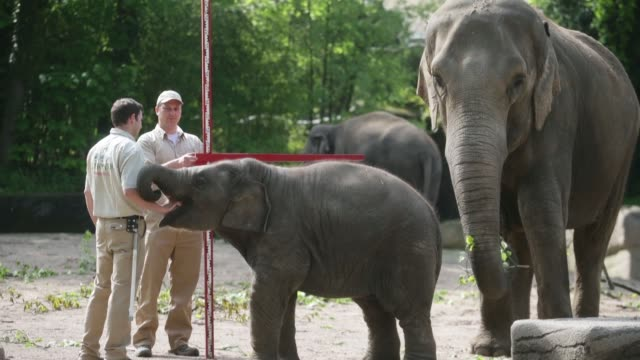 vidéos et rushes de long shot of a young elephant. assam, an asian elephant is measured by zookeepers, during a baby animals inventory at hagenbeck zoo on may 16, 2013... - organisme aquatique
