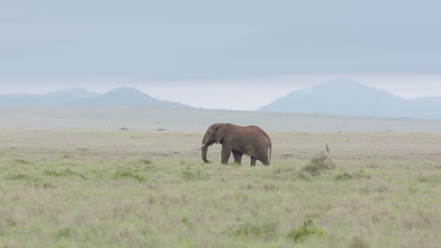 long shot of an african elephant wandering across the grasslands of the lewa wildlife conservancy, kenya. - 一匹点の映像素材/bロール