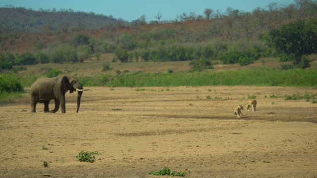 long shot of an elephant chasing lions - ausgedörrt stock-videos und b-roll-filmmaterial