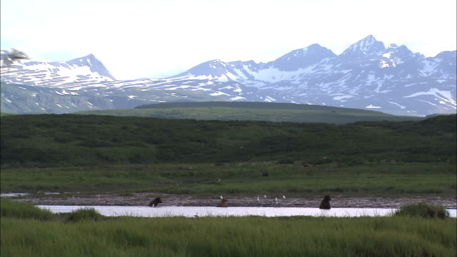 Long shot of bears in the water snowcapped mountains in the distance