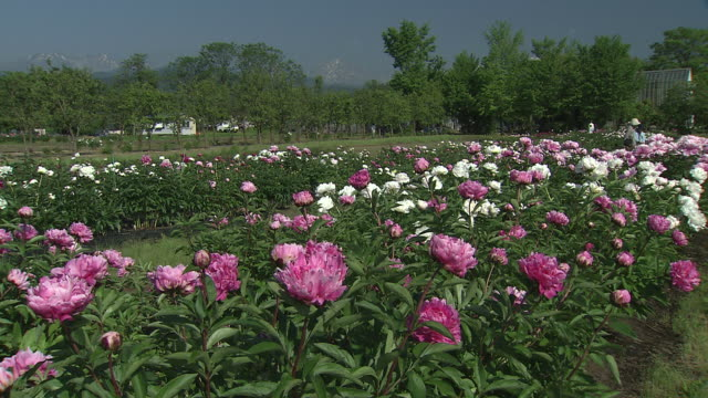 long shot of chinese peonies (paeonia lactiflora)as far as the eye can see - chinese herbal medicine stock videos and b-roll footage