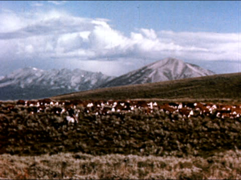 1950 long shot of cowboy herding cattle through foothills of rocky mountains / dissolve to rear view of herd crossing pasture / gunnison, colorado / audio - gunnison stock videos & royalty-free footage