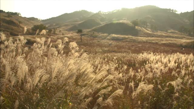 long shot of eulalia grass (miscanthus sinensis) - satoyama scenery stock videos & royalty-free footage