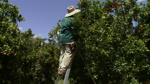 stockvideo's en b-roll-footage met long shot of farmer picking tangerines off tree. - boomgaard