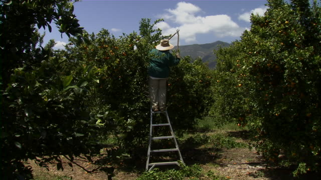 long shot of farmer pruning tangerine tree. - pruning stock videos & royalty-free footage
