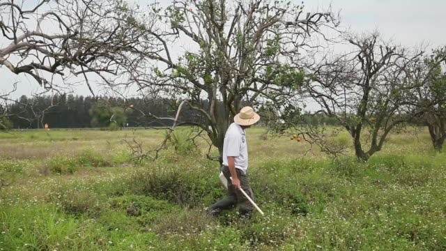 long shot of guy davies, collecting samples. davis is part of a team trying to track the movement of the insect. there is no known cure for the... - オレンジ果樹園点の映像素材/bロール