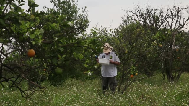 long shot of guy davies inspecting his container for psyllids. davis is part of a team trying to track the movement of the insect. there is no known... - オレンジ果樹園点の映像素材/bロール