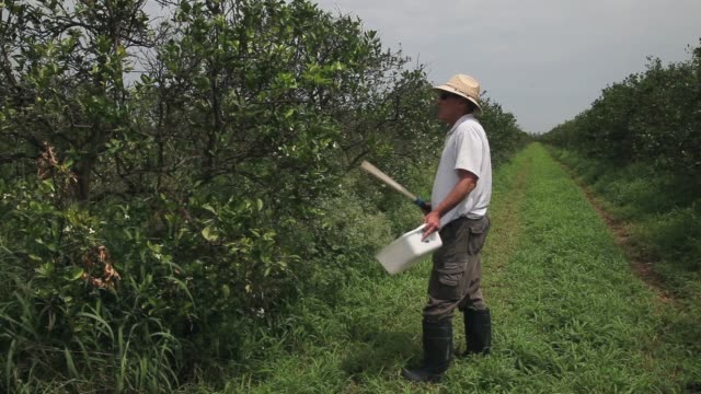 long shot of guy davies inspecting orange trees. davis is part of a team trying to track the movement of the insect. there is no known cure for the... - オレンジ果樹園点の映像素材/bロール