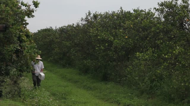 long shot of guy davies tapping orange trees. davis is part of a team trying to track the movement of the insect. there is no known cure for the... - オレンジ果樹園点の映像素材/bロール
