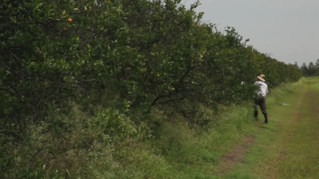 long shot of guy davies walking along an orange grove. davis is part of a team trying to track the movement of the insect. there is no known cure for... - オレンジ果樹園点の映像素材/bロール