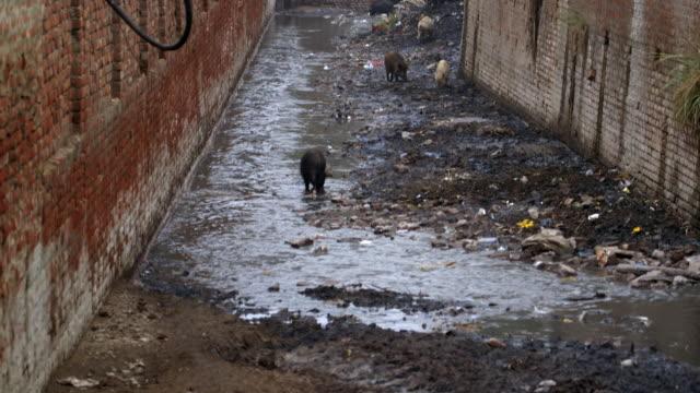 vídeos y material grabado en eventos de stock de long shot of pigs foraging in an open sewer in the city of kanpur.  - mamífero
