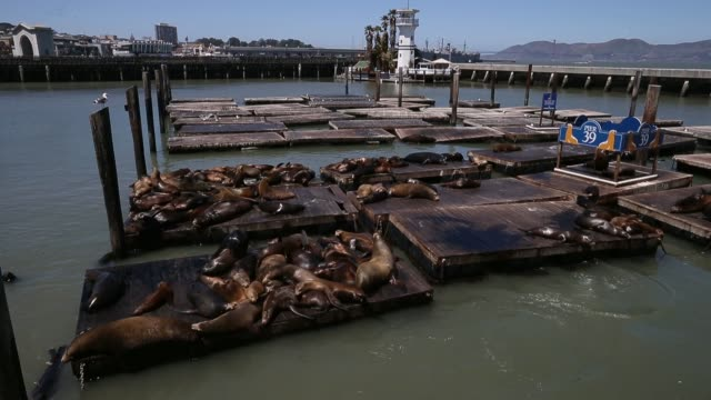 long shot of sea lions on a dock sea lions at san francisco's pier 39 on may 31 2013 in san francisco california - sea lion stock videos & royalty-free footage