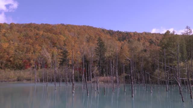 "Long shot of silver birches ""Betula pendula"" in autumn foliage along the shore of the Shirogane Blue Pond"