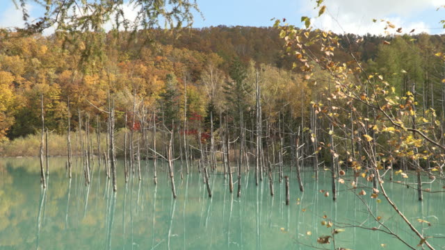 """long shot of silver birches """"betula pendula"""" in autumn foliage along the shore of the shirogane blue pond - biei town stock videos & royalty-free footage"""