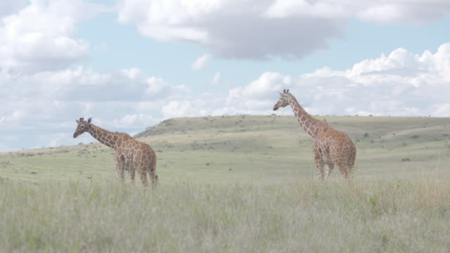 Long shot of three giraffes wandering across the grasslands of the Lewa Wildlife Conservancy, Kenya.