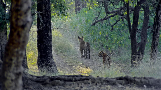 long shot of tiger cubs alone - animals in the wild stock videos & royalty-free footage