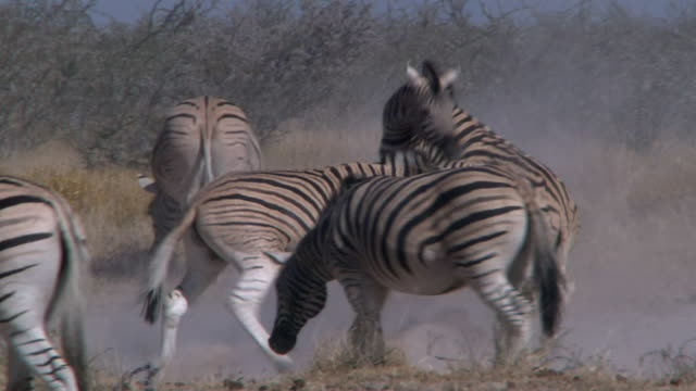 Long shot of two zebras sparring / fighting within the herd, Namibia