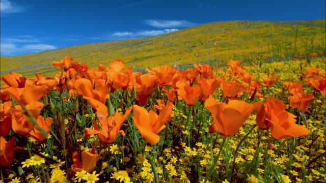 long shot orange poppies swaying in wind in foreground / hill covered in yellow buttercups in background / lancaster, ca - ラナンキュラス点の映像素材/bロール
