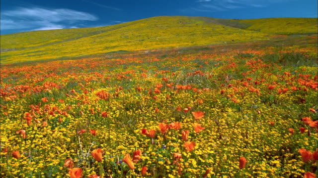 Long shot pan field of orange poppies and yellow buttercups on hillside / Lancaster, CA