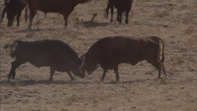 long shot pan-left pan-right - bulls lock horns near a herd in a dry field in tarifa, spain. / tarifa, spain - bull animal stock videos & royalty-free footage