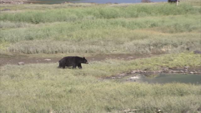 """long shot pan-right-a single black bear slowly ambles through a meadow past a pond. / kenai peninsula, alaska, usa"" - kenai peninsula stock videos & royalty-free footage"