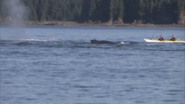 "vídeos y material grabado en eventos de stock de ""long shot pan-right-kayakers paddle past humpback whales that surface and spout near a forested alaskan coast. / alaska, usa"" - salir del agua"