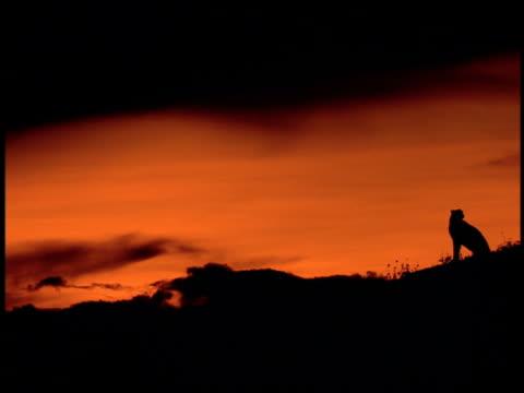 vídeos y material grabado en eventos de stock de long shot profile silhouette of cheetah sitting on plain with orange sky at dusk/ serengeti, tanzania, africa - felino grande