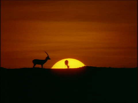 vídeos y material grabado en eventos de stock de long shot silhouette 1 antelope walking away from another eating on plain at sunrise / 3rd antelope runs by - herbívoro